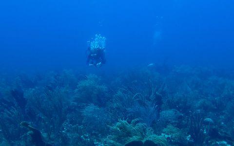 Jardins de gorgones de banc corallien © Noémie Michez / MNHN/ Madibenthos