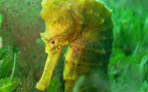 Hippocampe à long nez (Hippocampus reidi) sur un herbier à Halophila stipulacea © DEAL