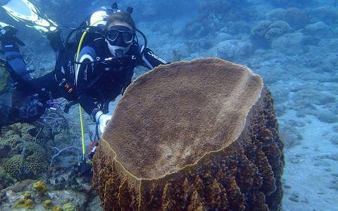 Nicole de Voogd donnant l'échelle de cette énorme Eponge-barrique Xestospongia muta © Esther van der Ent / MNHN/ Madibenthos
